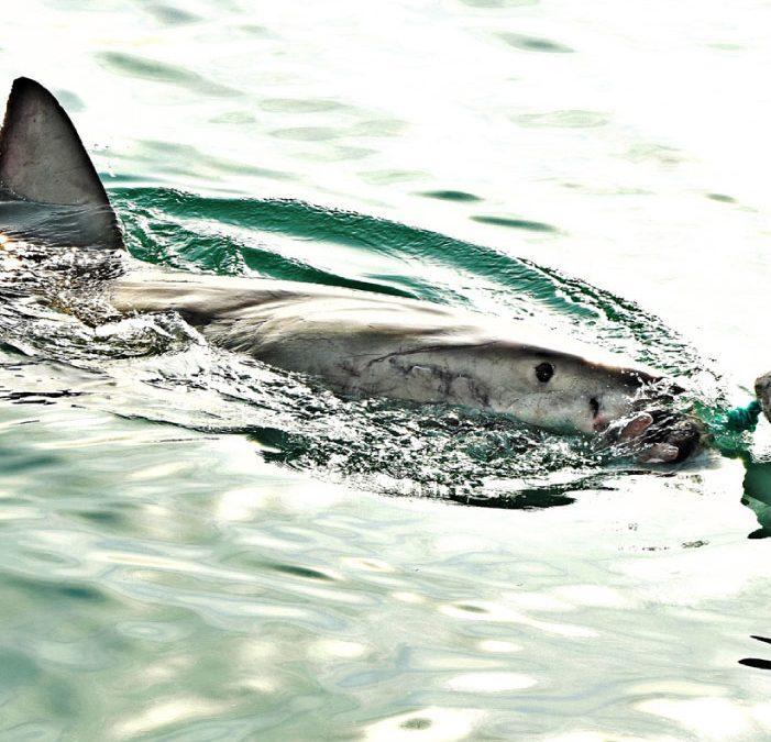 OCEANIC ¡El depredador más antiguo en peligro!